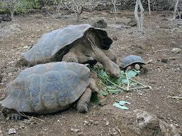 the world s best photos of galapagostortoise and tortoise flickr big and little doug greenberg tags galapagos tortoise galapagostortoise