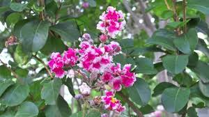 Image result for peppermint pink crepe myrtle