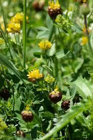 Trifolium badium - Wikipedia, la enciclopedia libre
