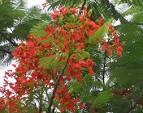 caesalpiniaceae