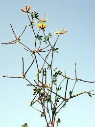 Lotus halophilus Boiss. & Spruner | Flora of Israel Online