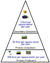 energy pyramid jpgthis diagram shows how energy moves up the food chain in the shallow tropical oceans of populus  the primary producers provide kilocalories per square