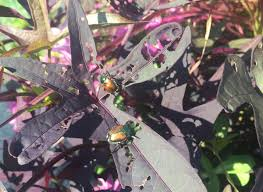 It's <b>Japanese</b> beetle season. Here's how to protect your plants from ...