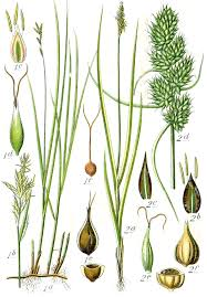 Carex brizoides - Wikipedia