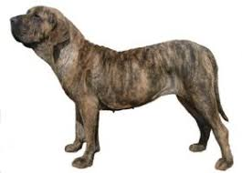 Порода собак <b>Бразильский фила</b>
