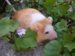 """Résultat de recherche d'images pour """"souris domestique beige"""""""
