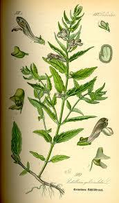 Scutellaria galericulata - Wikipedia