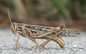 <b>Grasshopper</b> - Wikipedia