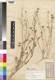 Brassica procumbens (Poir.) O.E.Schulz | Plants of the World Online ...