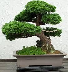 1000 images about bonsai tree on pinterest bonsai trees bonsai and japanese maple bonsai bought bonsai tree