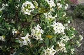 Daphne oleoides | olive-leaved daphne/RHS Gardening