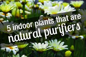 5 indoor plants that are natural purifiers brisbane office plants