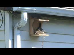 Free Robin  Phoebe Bird House Plans   Nesting Shelf