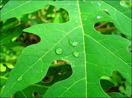 Image result for manfaat daun pepaya