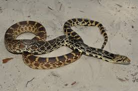 Image result for bull snakes