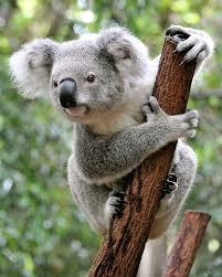 <b>koala</b> | Facts, Diet, & Habitat | Britannica