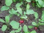 radish plant