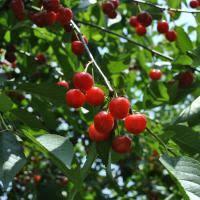 Pruning <b>Cherry Trees</b> - Stark Bro's