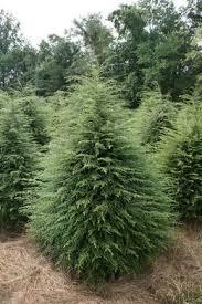 Image result for beautiful hemlock trees