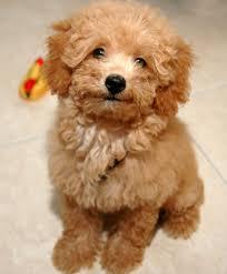 Ποιοι σκύλοι είναι επιρρεπείς στη παγκρεατίτιδα;