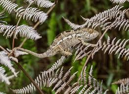 Rezultat iskanja slik za chameleon