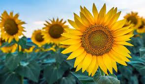 <b>Growing</b> Sunflowers: Plant & Harvest Sunflowers | Gilmour