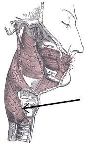 Верхний пищеводный сфинктер — Википедия