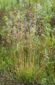Deschampsia cespitosa - Wikipedia