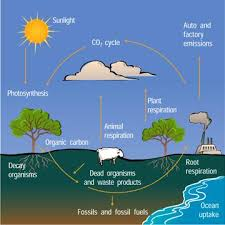 the carbon cycle   a level science   marked by teachers comfinally  it is obvious that carbon in the atmosphere is accumulating mainly due to the effects of deforestation coupled   human activity