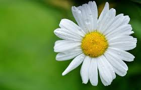 dogen and my journey to oneness a flower