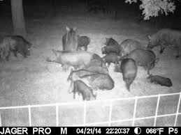 Hog wild: U.S. has 'out of control' population of '<b>super</b>-<b>pigs</b>,' expert ...