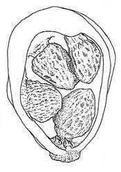 Dracunculus vulgaris - flowers of chania