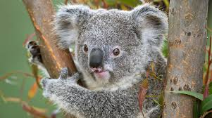 Image result for koala
