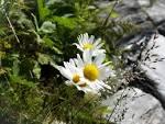 mountain daisy