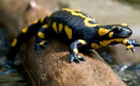 Image result for PA yellow spotted woods salamander
