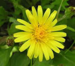 Scorzonera humilis - Wikipedia