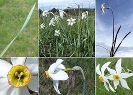 Narcissus radiiflorus Salisb. - Portale sulla flora del Parco Naturale ...