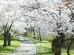 Image result for snowgoose cherry tree