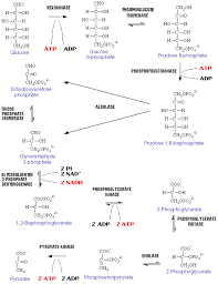 glycolysis   biochemistry is a good thing   page http     personal psu edu faculty k