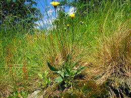 Hieracium schmidtii Tausch - Portale alla flora del Parco Nazionale ...