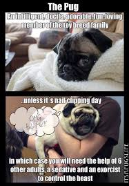 Funny meme about pug nail clipping via Relatably.com