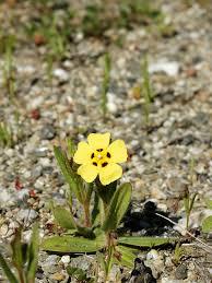 Tuberaria guttata – Wikipédia, a enciclopédia livre