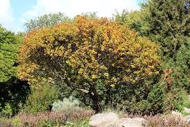 Zwerg-Mehlbeere – Wikipedia