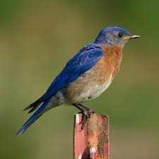 National Bluebird of Happiness Day | Holiday | Checkiday.com