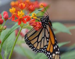 Image result for pollinator gardens butterflies