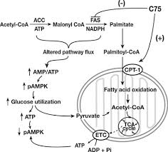 c  and ampkaltered pathway proposed