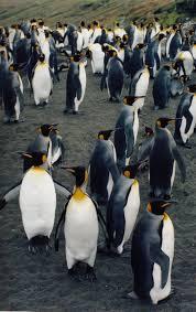 <b>пингвин</b> — Викисловарь