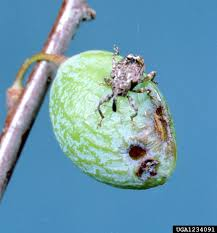 <b>Peach</b> Insect Pests | Home & Garden Information Center