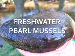 <b>Freshwater Pearl</b> Mussel Encystment Day - YouTube