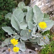 HIERACIUM LANATUM SEEDS (Hairy hawkweed, Leafy hawkweed ...